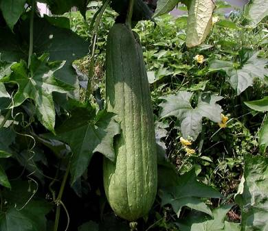Grow Your Own Sponges Luffa Green Living Tips